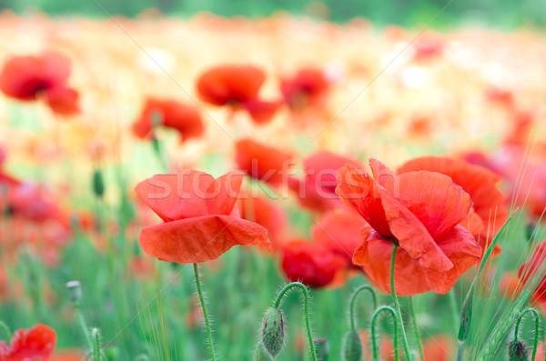 red poppy  Stock photo © Pakhnyushchyy