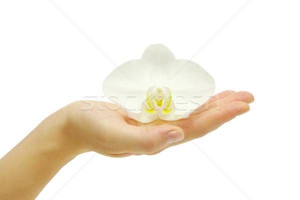 蘭 手 孤立した 白 美 小さな ストックフォト © Pakhnyushchyy