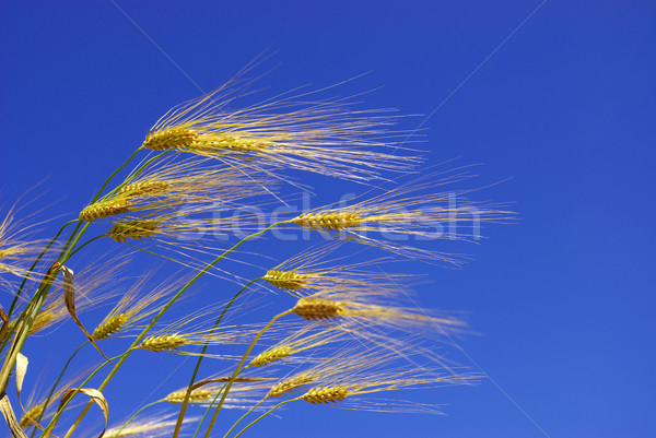 wheat ears Stock photo © Pakhnyushchyy