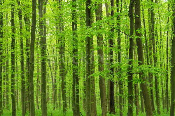 green forest Stock photo © Pakhnyushchyy