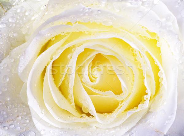 white rose Stock photo © Pakhnyushchyy