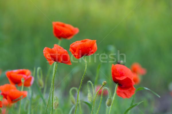 Czerwony maku zbóż dziedzinie trawy Zdjęcia stock © Pakhnyushchyy
