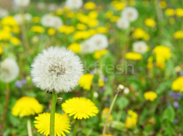 Pissenlit belle domaine jardin vert bleu Photo stock © Pakhnyushchyy