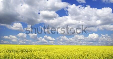 Napraforgó mező felhős kék ég égbolt virág Stock fotó © Pakhnyushchyy