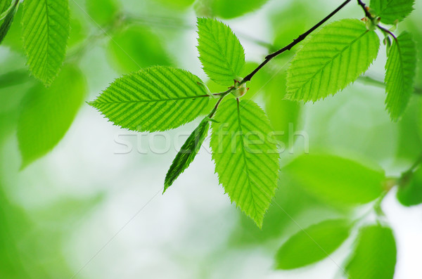 green leaves  Stock photo © Pakhnyushchyy