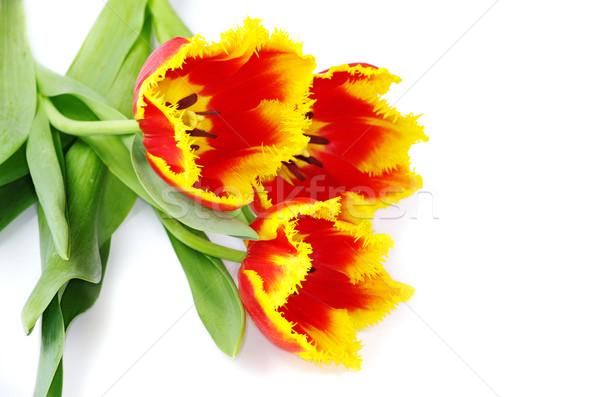Tulipán citromsárga izolált fehér tavasz terv Stock fotó © Pakhnyushchyy