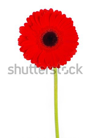 gerbera flower  Stock photo © Pakhnyushchyy