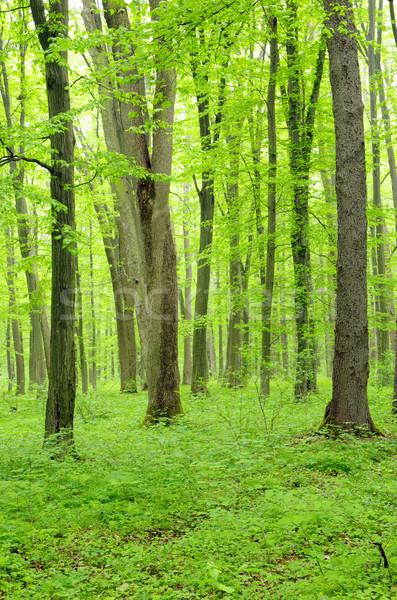 Groene bos blad zomer kleur Stockfoto © Pakhnyushchyy