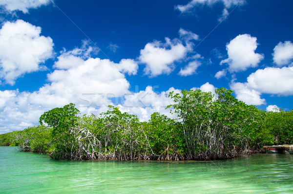 mangrove trees  Stock photo © Pakhnyushchyy