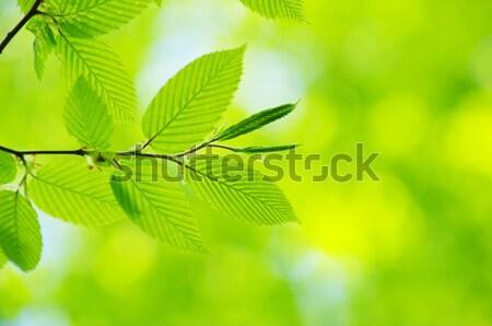 Zöld levelek napos idő nyár levelek szín erdő Stock fotó © Pakhnyushchyy