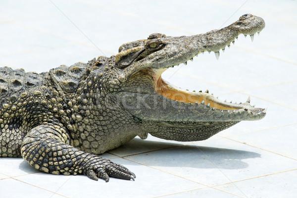 Aligator niebezpieczeństwo Florida przyrody drapieżnik Zdjęcia stock © Pakhnyushchyy
