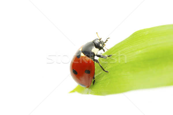 Joaninha vermelho grama verde isolado branco grama Foto stock © Pakhnyushchyy