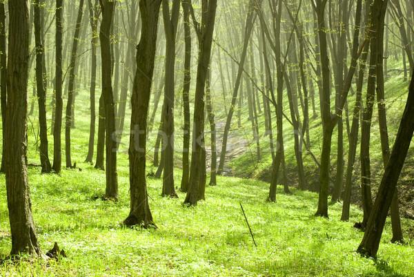 Foresta mozzafiato view sole misty giorno Foto d'archivio © Pakhnyushchyy