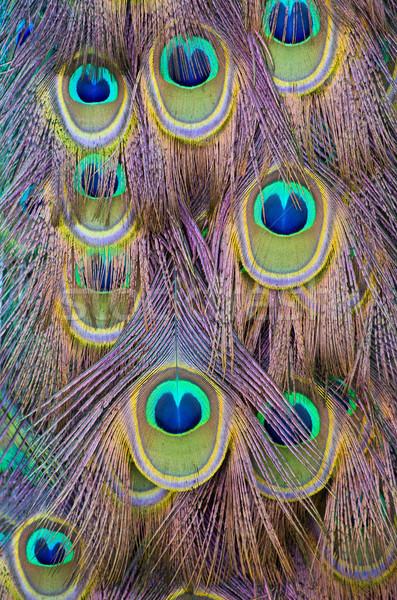 Tavuskuşu tüy desen bahar göz dans Stok fotoğraf © Pakhnyushchyy