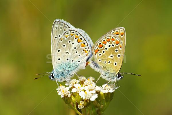 butterfly Stock photo © Pakhnyushchyy