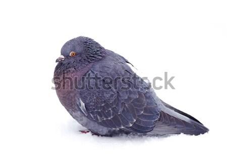 gray pigeon Stock photo © Pakhnyushchyy