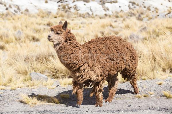 Cabelo viajar grupo animal américa lã Foto stock © Pakhnyushchyy