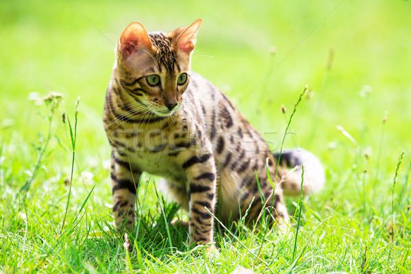 Kot trawnik charakter włosy piękna lata Zdjęcia stock © Pakhnyushchyy