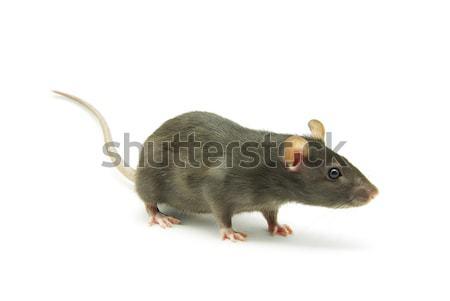 Rat isolé blanche nez animaux de compagnie fourrures Photo stock © Pakhnyushchyy