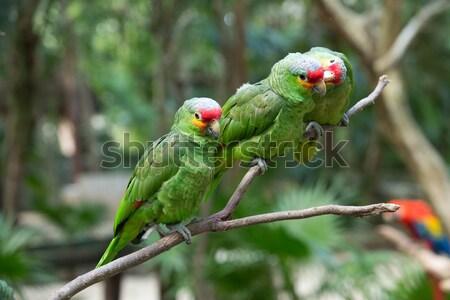 Papagaio pássaro sessão natureza casal fundo Foto stock © Pakhnyushchyy
