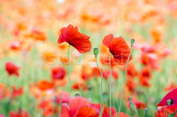 Rosso papavero primo piano cereali campo fiore Foto d'archivio © Pakhnyushchyy