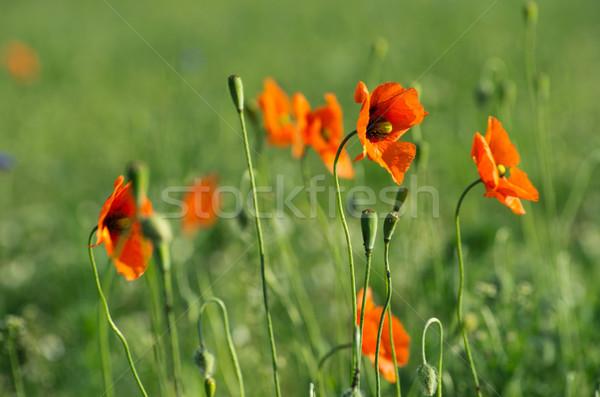 Rosso papavero primo piano cereali campo erba Foto d'archivio © Pakhnyushchyy