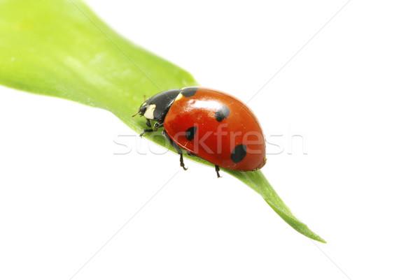 Coccinelle rouge herbe verte isolé blanche herbe Photo stock © Pakhnyushchyy