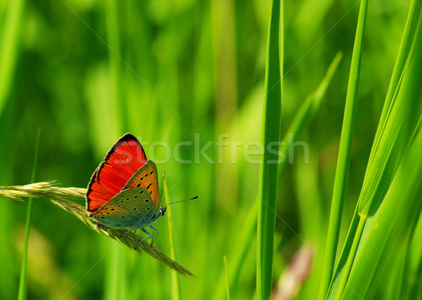 Schmetterling green leaf Natur Leben fliegen Tier Stock foto © Pakhnyushchyy