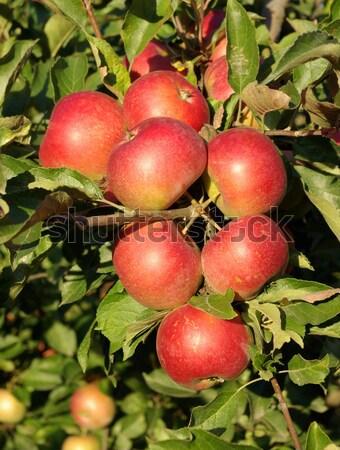 apple Stock photo © Pakhnyushchyy