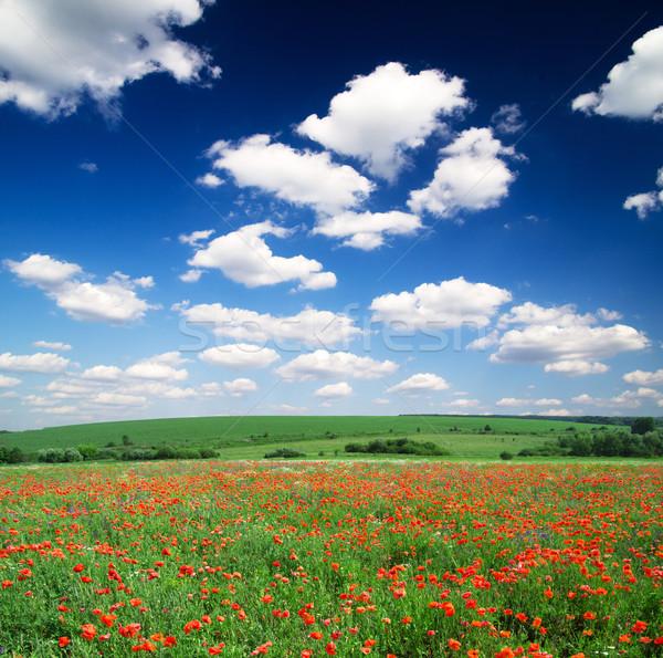 Haşhaş çiçekler mavi gökyüzü bahar güneş yaprak Stok fotoğraf © Pakhnyushchyy