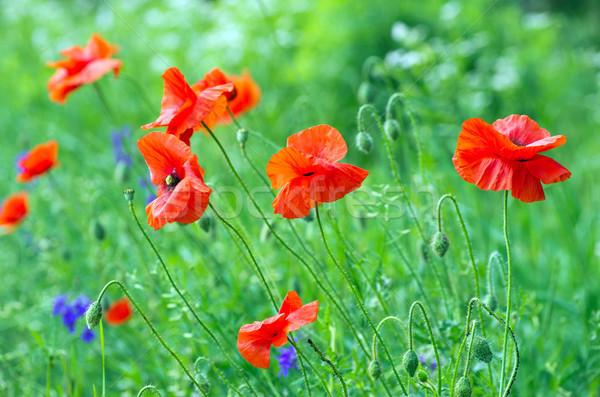 red poppy on field Stock photo © Pakhnyushchyy