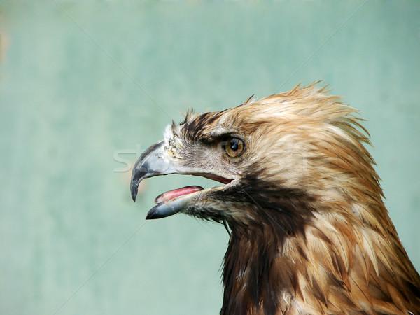 eagle Stock photo © Pakhnyushchyy