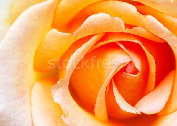 Orange rose beauté rouge rose Photo stock © Pakhnyushchyy
