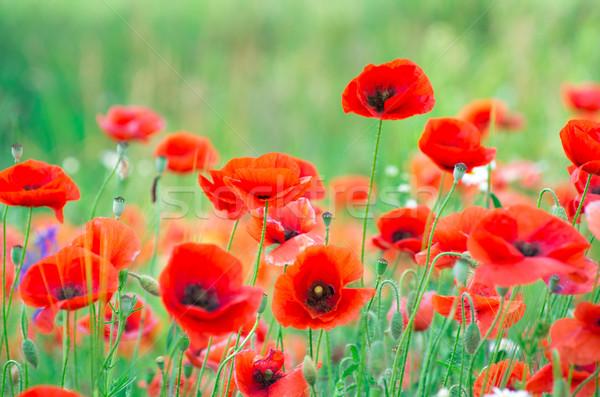 Kırmızı haşhaş tahıl alan çiçek Stok fotoğraf © Pakhnyushchyy