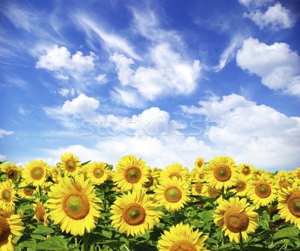 подсолнечника области облачный Blue Sky цветок фермы Сток-фото © Pakhnyushchyy