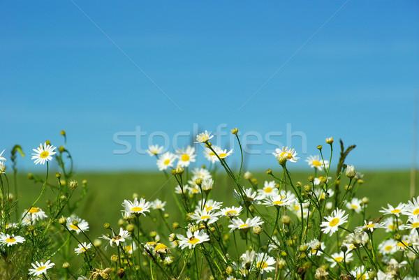 Stok fotoğraf: çiçekler · bulutlu · gökyüzü · çiçek · bahar · papatya