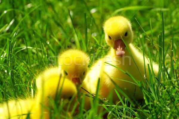 goslings Stock photo © Pakhnyushchyy