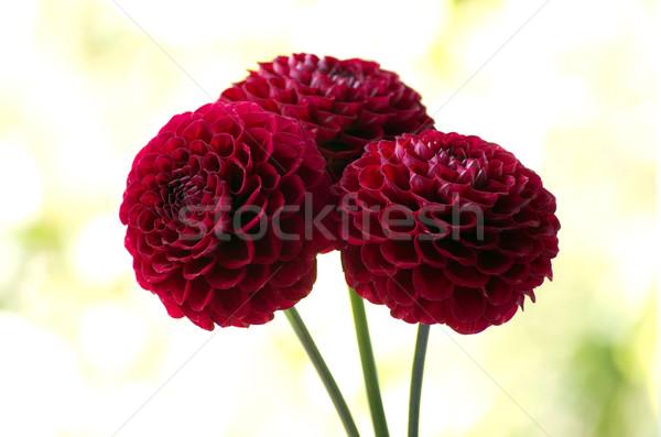 красный георгин цветок зеленый природы лет Сток-фото © Pakhnyushchyy