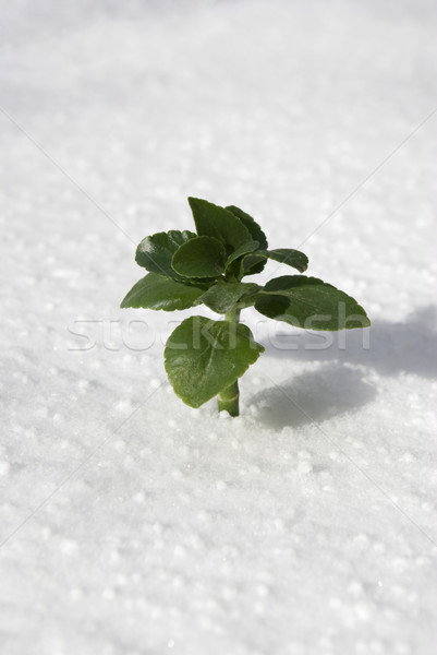 Stock photo: plant in snow
