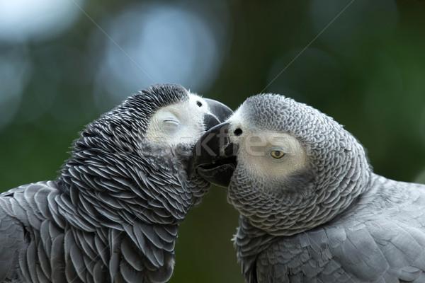Papugi pary kolorowy kiss ptaków skrzydełka Zdjęcia stock © Pakhnyushchyy