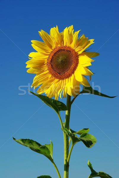 sunflower Stock photo © Pakhnyushchyy