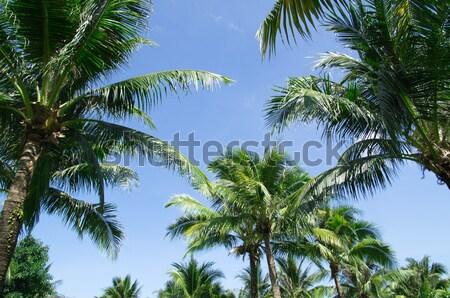 Verde palmeira blue sky árvore mar folha Foto stock © Pakhnyushchyy