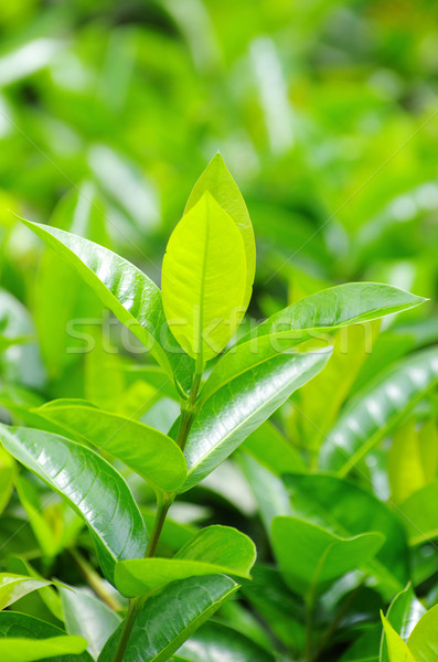 Zöld tea rügy friss levelek természet tea Stock fotó © Pakhnyushchyy