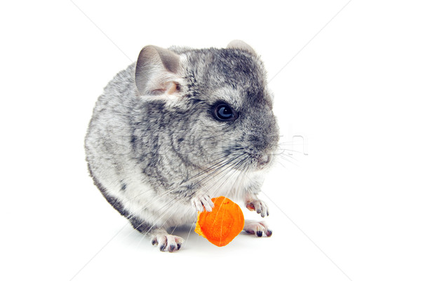 Chinchilla gris isolé blanche ami animal Photo stock © Pakhnyushchyy