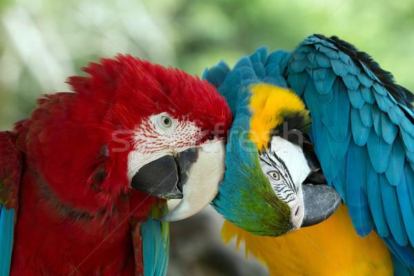 пару красочный поцелуй птица крыльями Сток-фото © Pakhnyushchyy