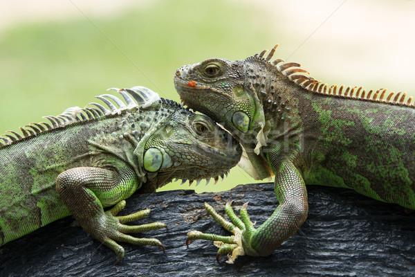 Leguaan groene bos natuur lichaam Stockfoto © Pakhnyushchyy