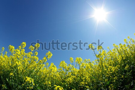 Vergewaltigung Bereich Wolken Himmel Sommer grünen Stock foto © Pakhnyushchyy