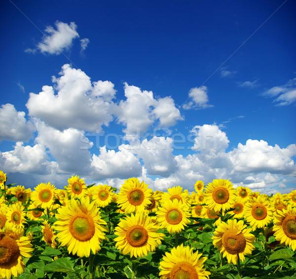 Stockfoto: Zonnebloem · veld · bewolkt · blauwe · hemel · bloem · boerderij