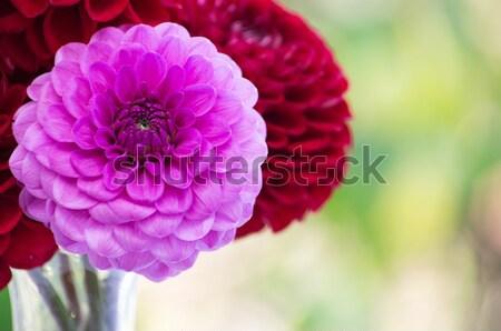 Pink dahlia  Stock photo © Pakhnyushchyy