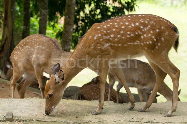 Cerfs tête extérieur faune Photo stock © Pakhnyushchyy